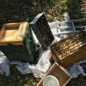 récupération dans une ruchette d'un essaim d'abeille à Beaupuy