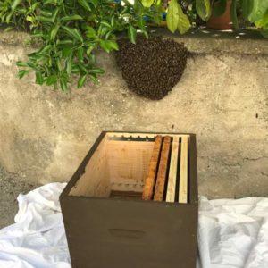 Un essaim dans un village sur un muret récupéré par un apiculteur dans une ruche