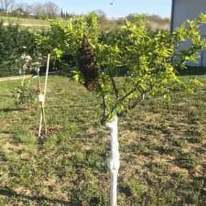 Essaims d'abeille sur un arbre fruitier dans un jardin à Castelnau d'Estretefonds