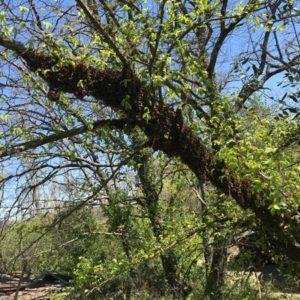 Gros nid d'abeilles étendu sur une branche