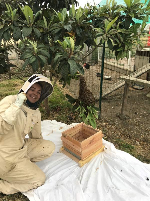 Apiculteur retire brèche de cire - Tarn et Garonne - 82 récupère essaim d'abeille suspendu à un arbre, dans une ruche warré