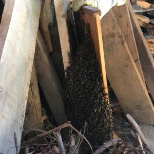 Essaim d'abeilles récupéré dans le Tarn et Garonne dans un tas de bois, dans une grange